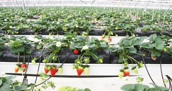 cultivos_de_fresas